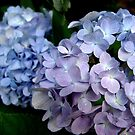 Lavender and blue hydrangea by May Lattanzio