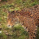 Leopard by Franco De Luca Calce