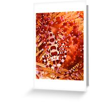 Coleman Shrimp on Fire Coral Greeting Card