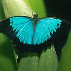 Morpho Butterfly by Marylou Badeaux