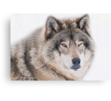 ..the wink of a wolf..... Canvas Print