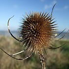 Thistle by Zoe Harmer