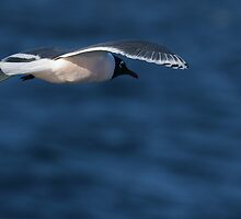 Franklin's Gull by Steve Bulford