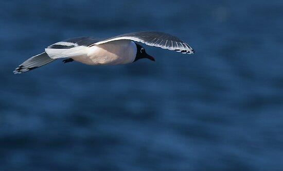 Franklin's Gull by Steve Bulford