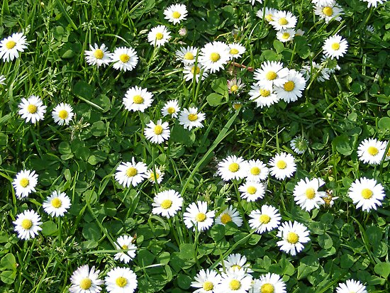 Daisies and Grass by Zoe Harmer