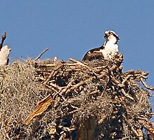 Osprey.......Vesta Sitting on her eggs by Memaa