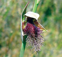 bearded swamp orchid or swamp beard orchid by shirleyscott