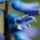 Bluebell Macro  by Rob Hawkins