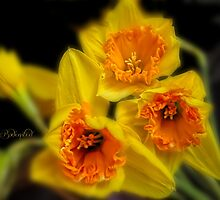 Daffodil time by © Kira Bodensted