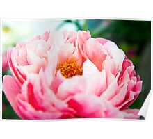 peony in the summer Poster