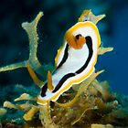 Nudibranchs by Erik Schlogl