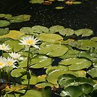 Waterlilies by Kezzarama