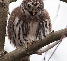 Northern Pygmy Owl by j Kirk Photography                      Kirk Friederich