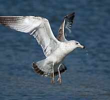 Sea Gull in Action by Bonnie T.  Barry