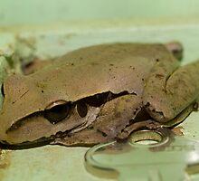 Stony Creek Frog - Cairns - Queensland - Australia by Paul Davis