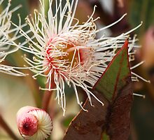 Flowering Gum by Ruth Durose