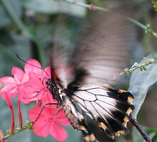 Butterfly hovering by John Thurgood