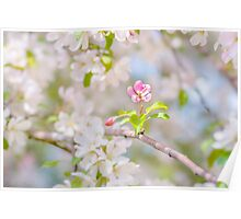 Apple blossom - Beauty Poster
