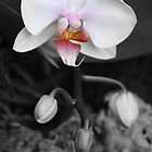 Orchid - focussed b&w by sminchin