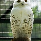 White Owl by damokeen