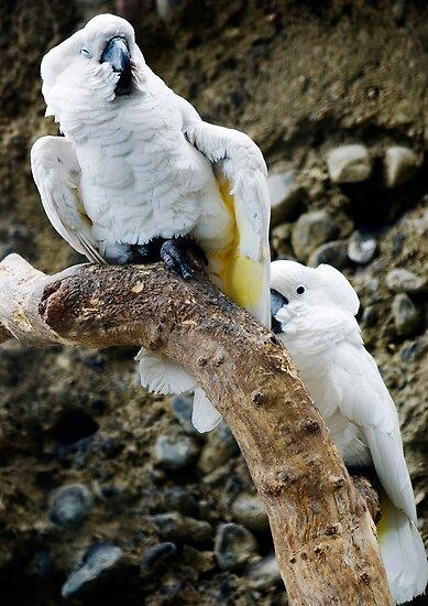 Cockatoos by damokeen