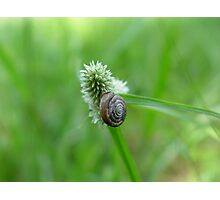 Snail on Sedge Photographic Print