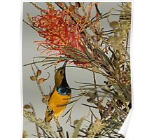 Sunbird and grevillea Poster