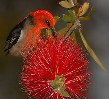 Scarlet Honeyeater and Bottlebrush by MareeDavy