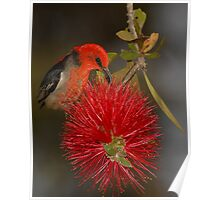 Scarlet Honeyeater and Bottlebrush Poster