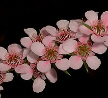 'Pink Cascade' Tea-Tree by MareeDavy