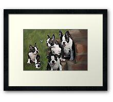 Boston Terrier Puppies.... Framed Print