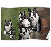 Boston Terrier Puppies.... Poster