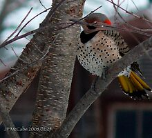 Wood Pecker, Flicker takes a quick nap! by Jack McCabe