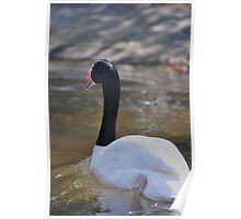 swan stroll Poster