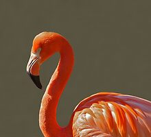 Flamingo by franceslewis