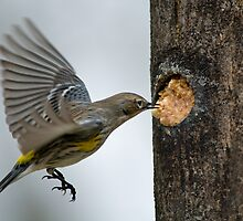 Warbler at the Suet Log by Bonnie T.  Barry