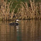 Great-crested grebe by Ashley Crombet-Beolens