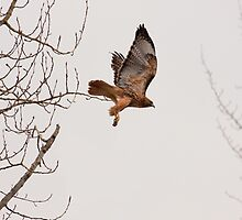 RED-TAILED HAWK by Sandy Stewart