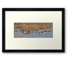 Black winged Stilts, Derby, Western Australia Framed Print