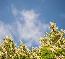Blossoming Aesculus tree on blue sky by Arletta Cwalina