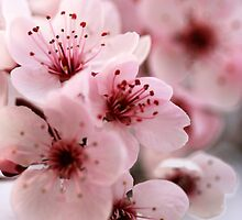Japanese sakura cherry blossom photography print, macro photography, pastel blush pale pink bloom spring flowers ethereal romantic nature by moderatefanatic