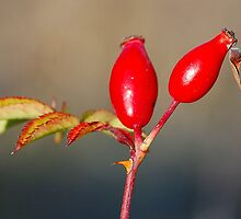 Wild Rosehips by Nancy Barrett