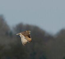 Short eared owl 4 by Ashley Beolens