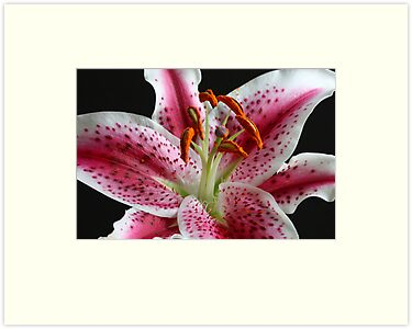 Stargazer Lily by Rachel Stickney