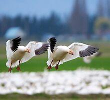 Tandem Landing by DawsonImages