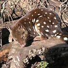 Spotted Quoll At Tasmanian Devil Sanctuary, Cradle Mountain, Tasmania,Australia. by kaysharp