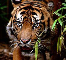 Sumatran Tiger VI by Tom Newman