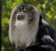 Lion-tailed Macaque XI by Tom Newman