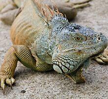 Iguana by Nickolay Stanev