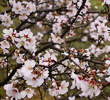 Almond blossom by Ieva Samsina